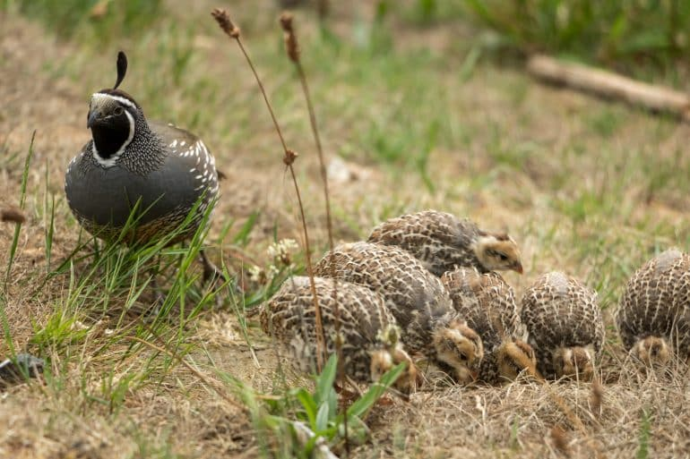Mama and baby quails